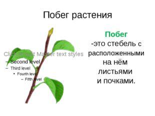 Побег растения Побег -это стебель с расположенными на нём листьями и почками.
