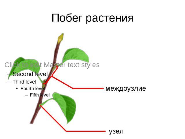 Побег растения узел междоузлие