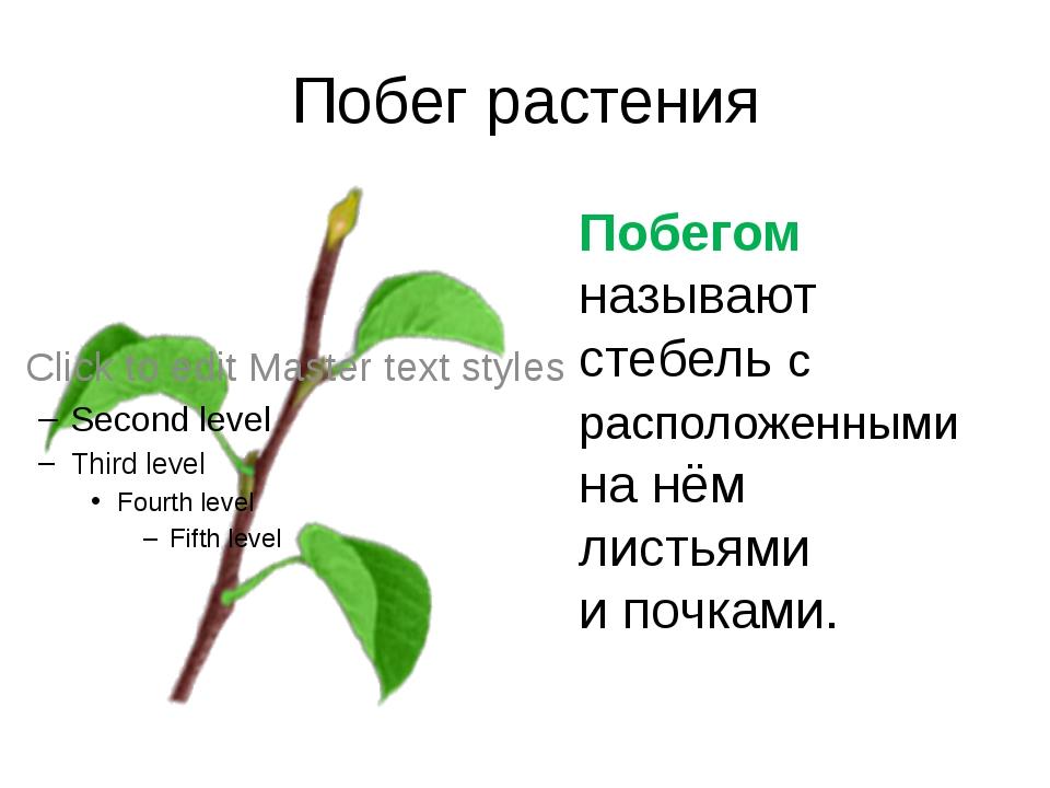 Побег растения Побегом называют стебель с расположенными на нём листьями и по...