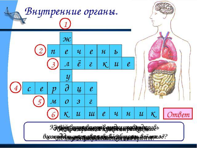 Внутренние органы. Ответ Как называется главное отделение «внутренней кухни»...