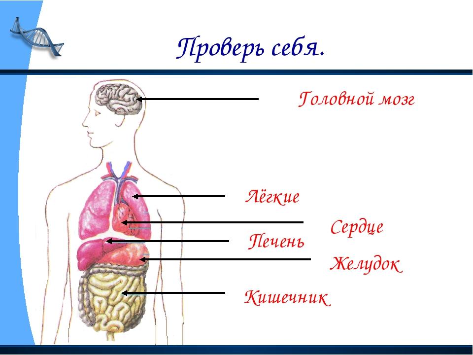 Проверь себя. Головной мозг Лёгкие Сердце Печень Желудок Кишечник