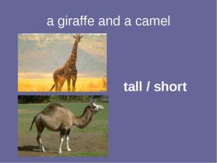 a giraffe and a camel tall / short