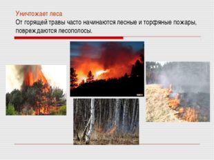 Уничтожает леса От горящей травы часто начинаются лесные и торфяные пожары, п