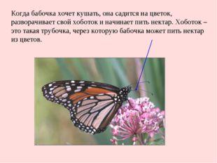 Когда бабочка хочет кушать, она садится на цветок, разворачивает свой хоботок