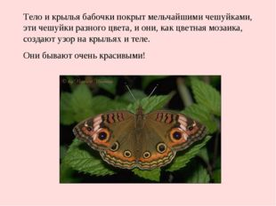 Тело и крылья бабочки покрыт мельчайшими чешуйками, эти чешуйки разного цвета