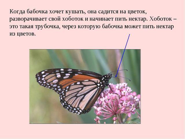 Когда бабочка хочет кушать, она садится на цветок, разворачивает свой хоботок...