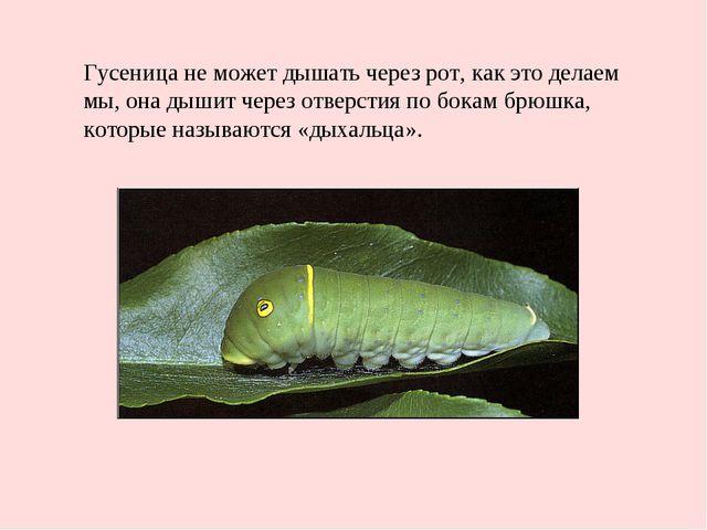 Гусеница не может дышать через рот, как это делаем мы, она дышит через отверс...