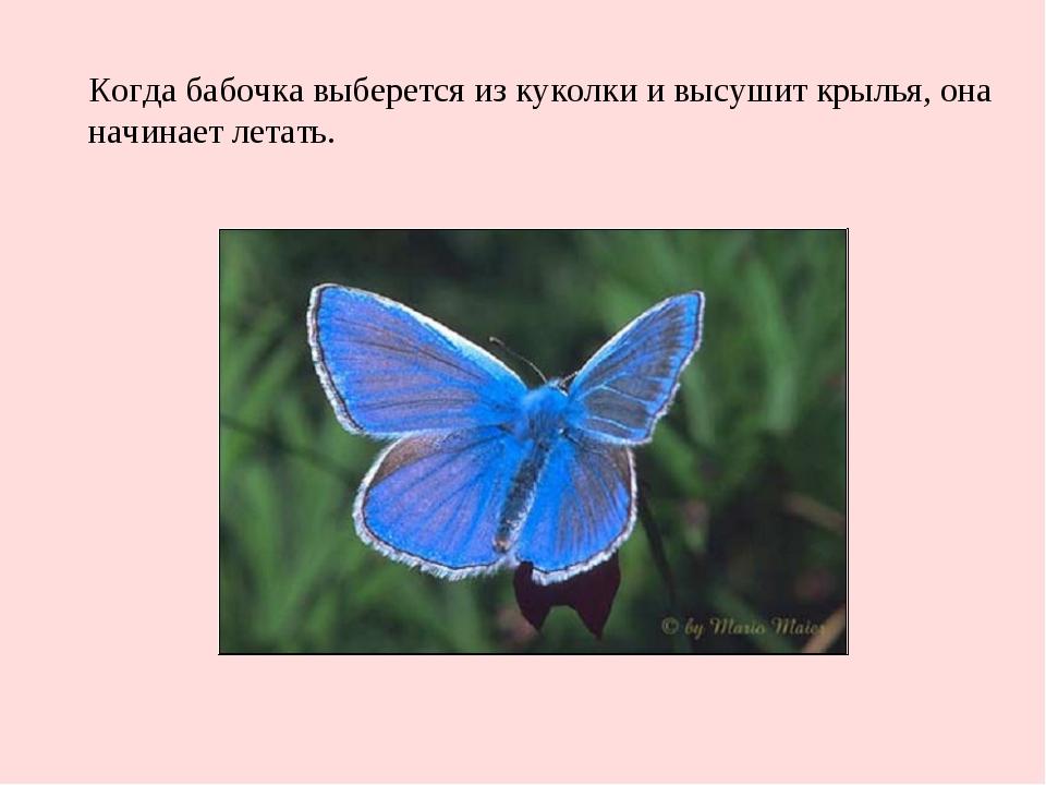 Когда бабочка выберется из куколки и высушит крылья, она начинает летать.