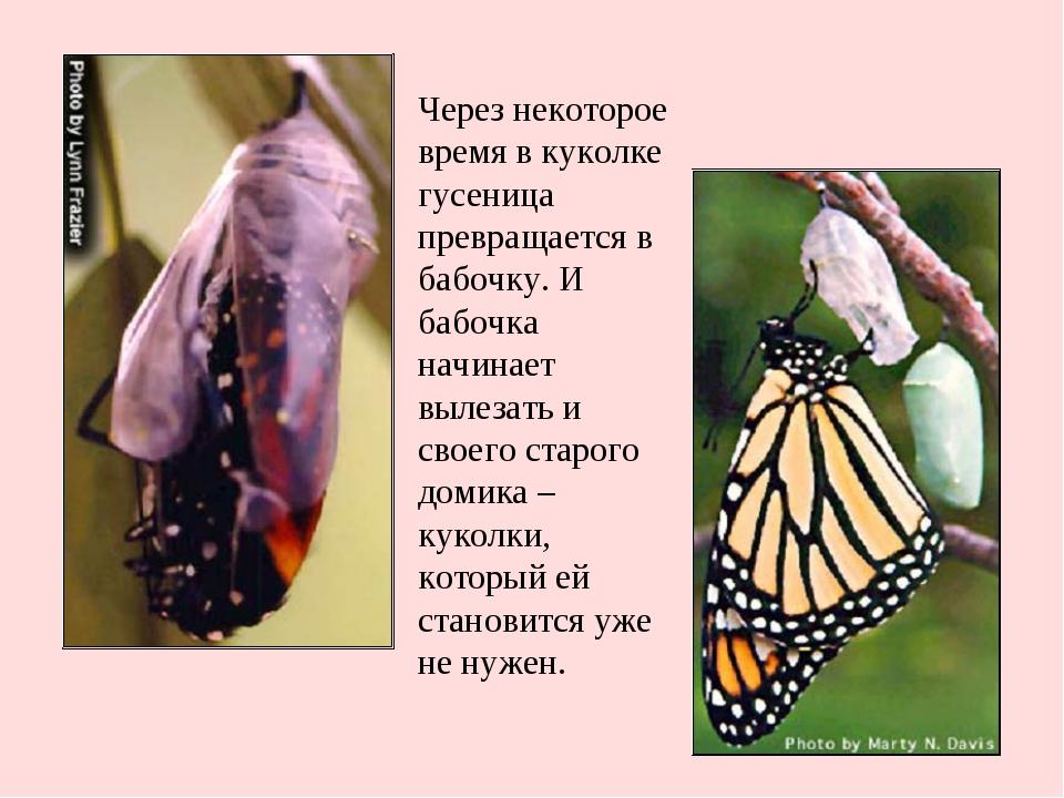 Через некоторое время в куколке гусеница превращается в бабочку. И бабочка на...