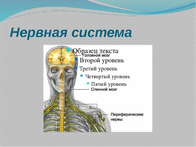 Пищеварительная система 4 Пищевод Желудок Печень Кишечник