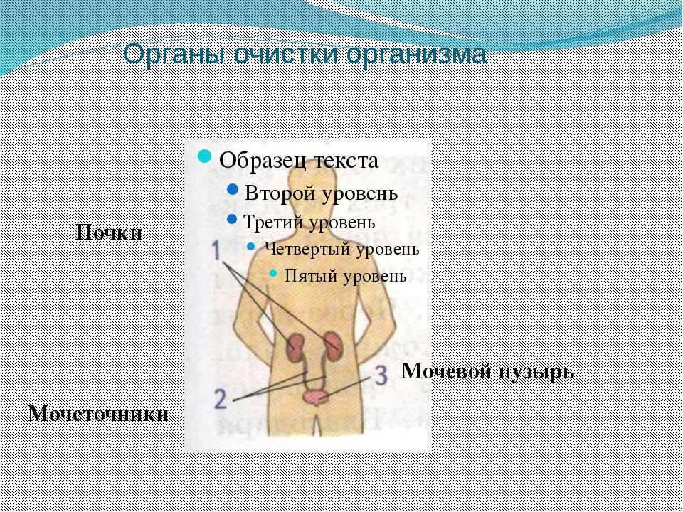 кожа Волос Сальные железы Мышцы Кровеносные сосуды Нервные окончания Потовые...