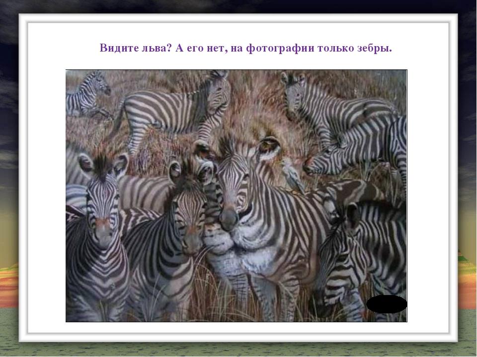 Видите льва? А его нет, на фотографии только зебры.