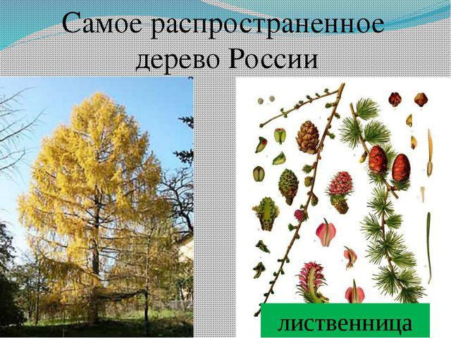 Самое распространенное дерево России лиственница