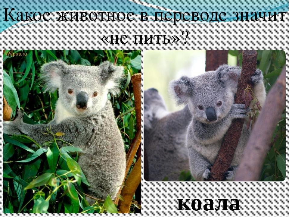Какое животное в переводе значит «не пить»? коала