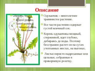 Описание Одуванчик – многолетнее травянистое растение. Все части растения сод