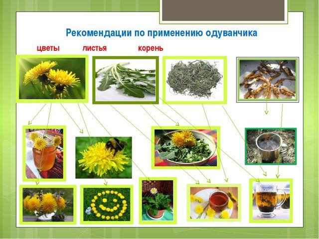 цветы  листья  корень Рекомендации по применению одуванчика