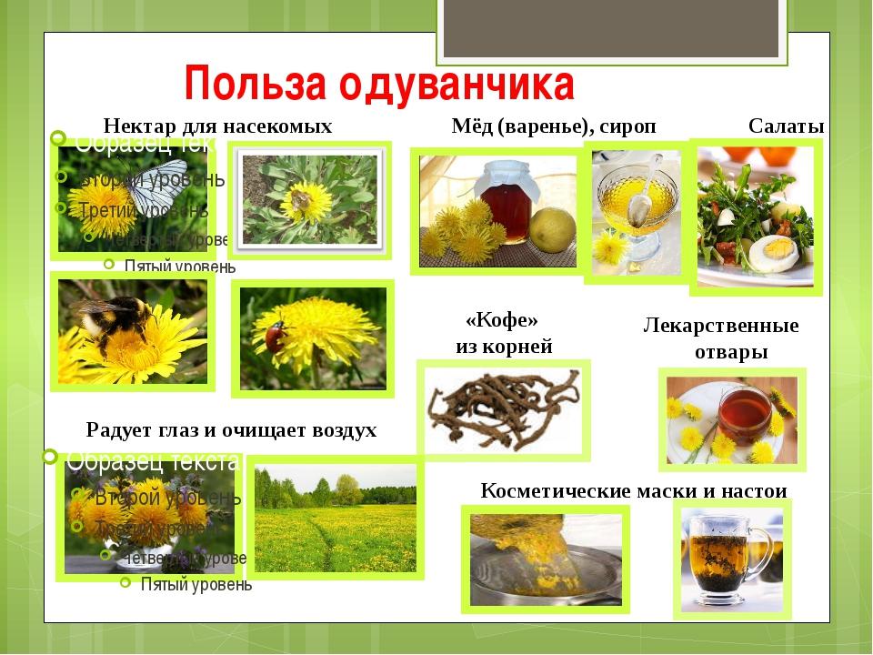 Польза одуванчика Нектар для насекомых Мёд (варенье), сироп Салаты Лекарствен...