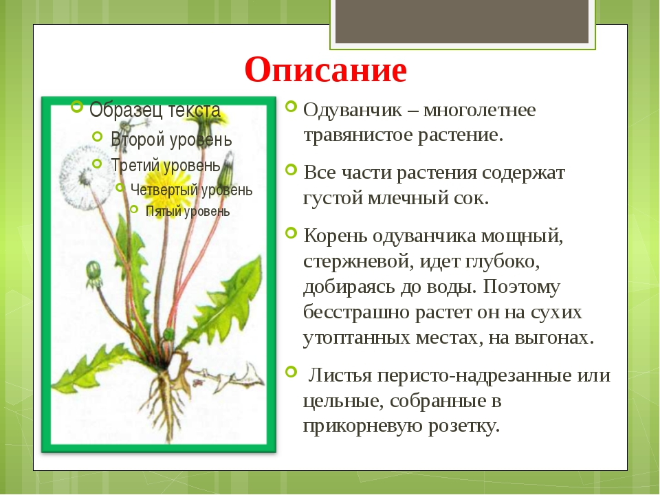 Описание Одуванчик – многолетнее травянистое растение. Все части растения сод...
