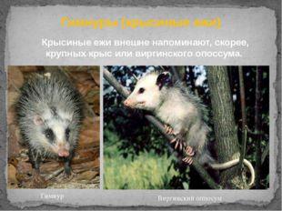 Гимнуры (крысиные ежи) Крысиные ежи внешне напоминают, скорее, крупныхкрыси