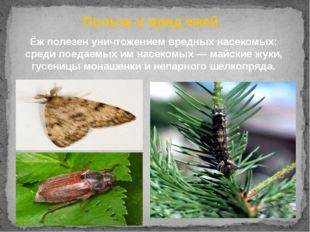 Ёж полезен уничтожением вредных насекомых: среди поедаемых им насекомых—май