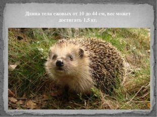 Длина тела ежовых от 10 до 44 см, вес может достигать 1,5 кг.