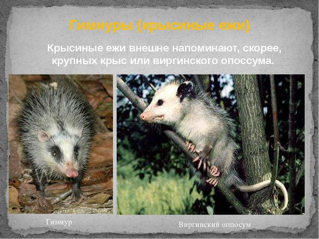 Гимнуры (крысиные ежи) Крысиные ежи внешне напоминают, скорее, крупныхкрыси...