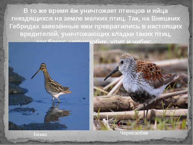 В то же время ёж уничтожает птенцов и яйца гнездящихся на земле мелких птиц....