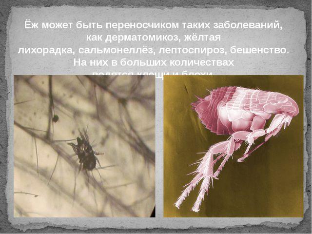 Ёж может быть переносчиком таких заболеваний, какдерматомикоз,жёлтая лихора...