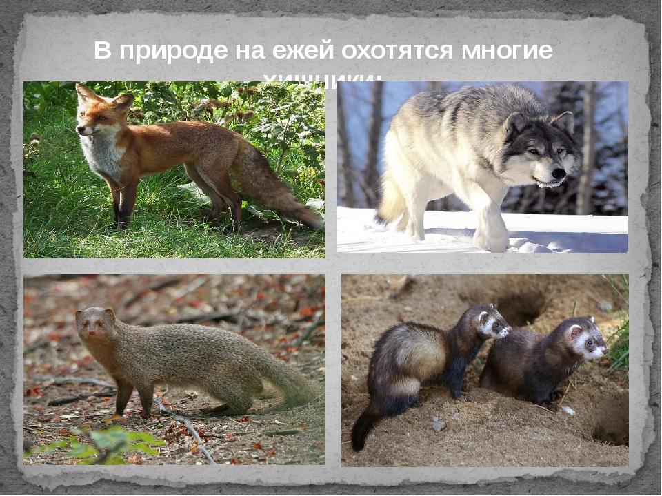 В природе на ежей охотятся многие хищники: