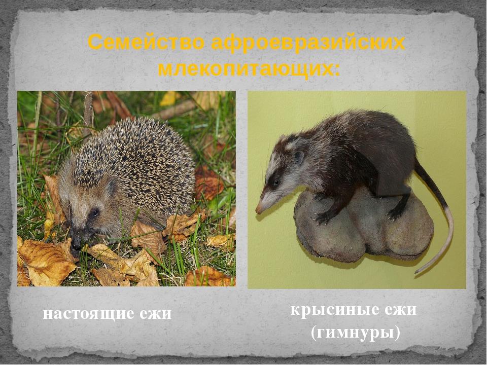 Семействоафроевразийских млекопитающих: настоящие ежи крысиные ежи (гимну...