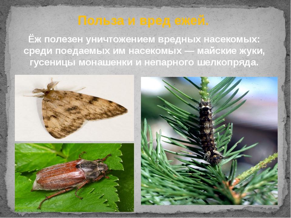 Ёж полезен уничтожением вредных насекомых: среди поедаемых им насекомых—май...