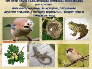 Питается различными ягодами, семенами,насекомыми, при случае - мелкимигрыз