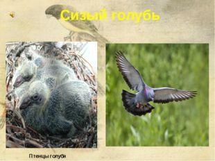 Сизый голубь Птенцы голубя