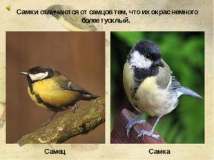 Самец Самка Самки отличаются от самцов тем, что их окрас немного более тускл