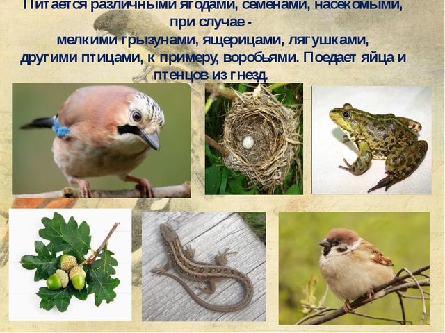 Питается различными ягодами, семенами,насекомыми, при случае - мелкимигрыз...