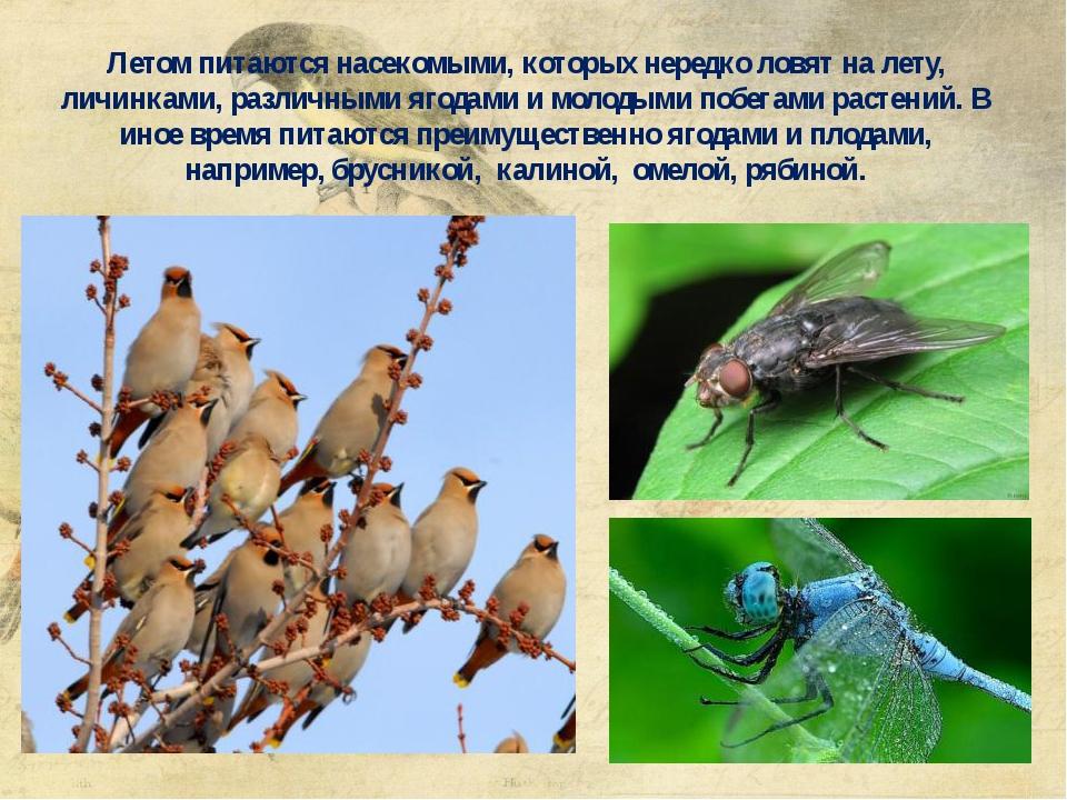 Летом питаются насекомыми, которых нередко ловят на лету, личинками, различны...