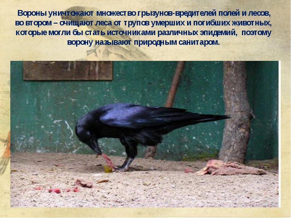 Вороны уничтожают множество грызунов-вредителей полей и лесов, во втором – о...