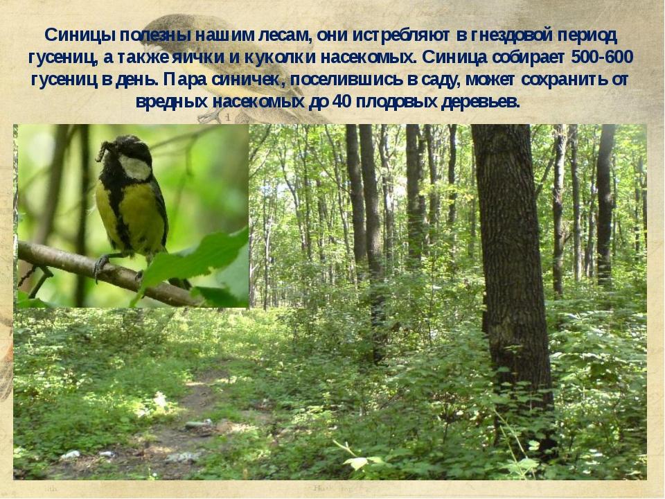 Синицы полезны нашим лесам, они истребляют в гнездовой период гусениц, а такж...
