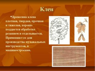 Клен Древесина клена плотная, твердая, прочная и тяжелая, хорошо поддается об