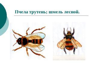 Пчела трутень; шмель лесной.