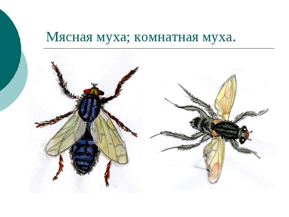 Мясная муха; комнатная муха.