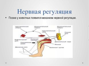 Нервная регуляция Позже у животных появился механизм нервной регуляции.