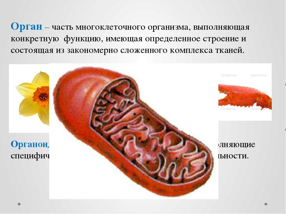 Орган – часть многоклеточного организма, выполняющая конкретную функцию, имею...