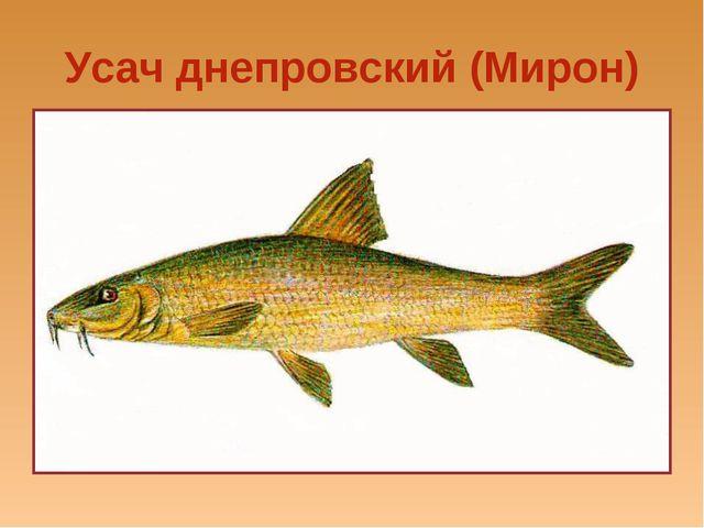 Усач днепровский (Мирон)