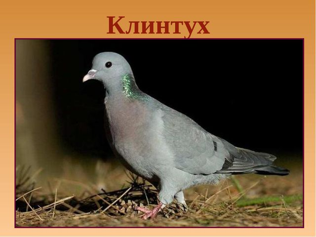 Клинтух
