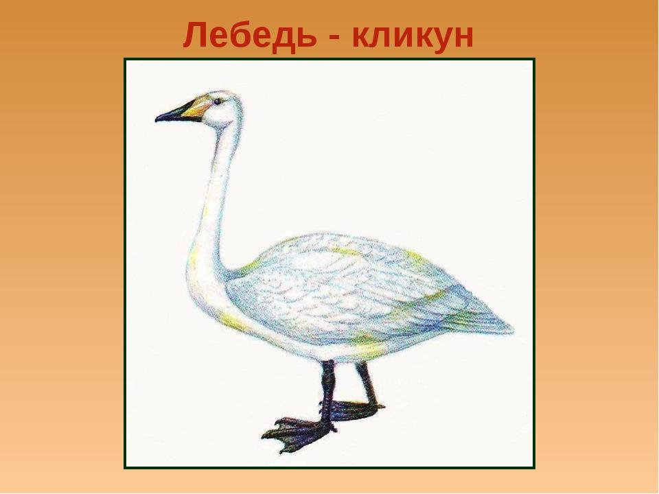 Лебедь - кликун