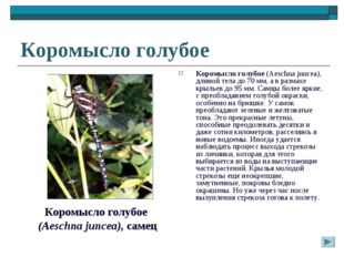 Коромысло голубое Коромысло голубое (Aeschna juncea), длиной тела до 70 мм, а