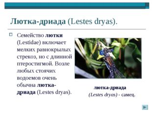 Лютка-дриада (Lestes dryas). Семейство лютки (Lestidae) включает мелких равно