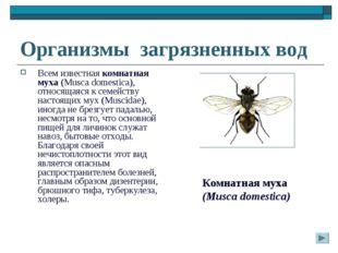 Организмы загрязненных вод Всем известная комнатная муха (Musca domestica), о