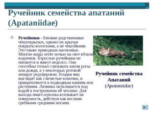Ручейник семейства апатаний (Apataniidae) Ручейники - близкие родственники че